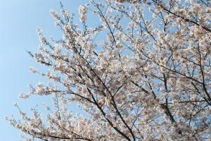 野田小学校の桜、撮影日2010/04/08