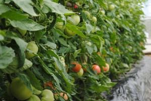 ハウス・トマト