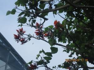 沖縄の県花・デイゴ